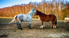 Farm horses at agricultural field Stock Footage