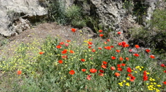 Spain Poppies in Aragon Sierras Stock Footage