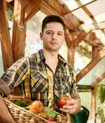 Friendly man harvesting fresh tomatoes from the greenhouse garden putting ripe Stock Photos