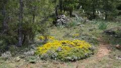 Spain Serrania de Cuenca yellow flowers on ground Stock Footage