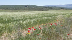Spain Meseta poppies and wheat blowing in wind Stock Footage