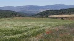 Spain Meseta poppies in wheat field landscape Stock Footage