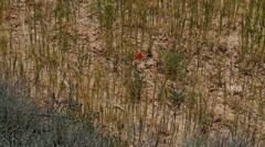 Spain Meseta poppy and wheat detail Stock Footage