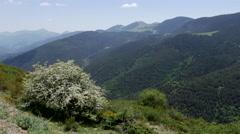 Spain Pre-Pyrenees flowering shrub in mountains Stock Footage