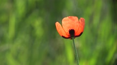 Flower of red poppy stands on green background, insect collects nectar, 4k Stock Footage