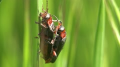 Pentatomidae beetle, Common red soldier beetle, Rhagonycha fulva, 4k Stock Footage