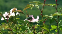 Beetle crawling on a wild rose flower. Stock Footage