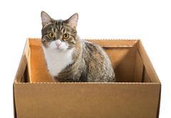 Big grey cat in a cardboard box - stock photo