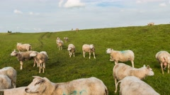 Time lapse Sheep on Dike Stock Footage
