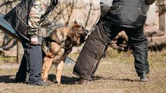 German Shepherd Dog Training. Biting Alsatian Wolf Dog - stock photo