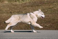 Young Funny Gray Husky Puppy Dog - stock photo