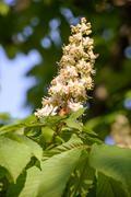 White Horse Chestnut Flower - stock photo