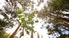 Peru: Eucalyptus tree Stock Footage