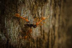 Three weaver ants eating insect Stock Photos