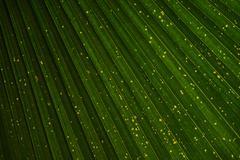 Closeup to green palm leaf Livistona Rotundifolia tree texture - stock photo