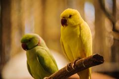Colorful yellow parrot, Sun Conure Aratinga solstitialis Stock Photos