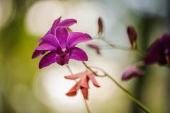 Beautiful purple orchid  flower - phalaenopsis - stock photo
