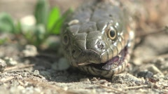 Dead snake's head is on a dirt road, running around the ants Stock Footage