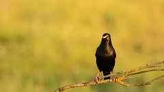Spotless starling perched on a branch. Stock Footage
