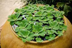 Floating plant Water lettuce Pistia stratiotes Linn Stock Photos