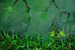 Water lily leaf on boarder with grass Stock Photos