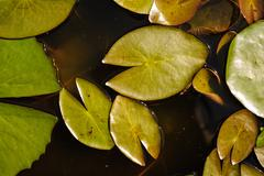 Water lily leaf nature background Stock Photos
