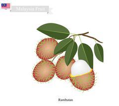 Fresh Rambutan, A Famous Fruit in Malaysia - stock illustration