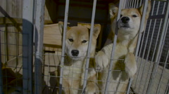 Young Akita Dogs Stand In Aviary - stock footage