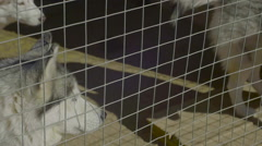 Husky Dogs Stand In Aviary - stock footage