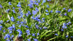 Scilla or bluebell Stock Footage