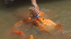 Hungry fish eats food from bottle. a lot of fish in the pond. Girl feeding fish. Stock Footage