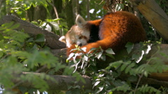 Close up Red Panda (Ailurus fulgens) sleeping on a tree, as wind moves leaves. Stock Footage