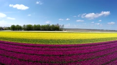 Aerial of beautiful colorful tulip field moving over pink purple and yellow part Stock Footage