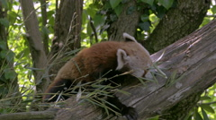 Close-up Red Panda (Ailurus fulgens) on a tree eating bamboo leaves. Stock Footage