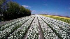 Aerial drone movingvery slowly over beautiful white tulip field Stock Footage