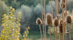 The Plant Teasel Waving In The Field On The Sunny Day Stock Footage