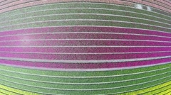 Aerial of beautiful colorful tulip field drone moving up over pink purple tulips Stock Footage