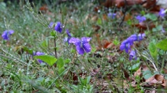 Purple Viola flowers in the wild with rain drops. - stock footage