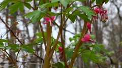 Branches of Bleeding hearts in Spring season. Stock Footage