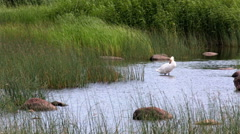 A white swan standing on a rock in water. Gulf of Finland Stock Footage