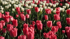 Red and White Tulips Spring Flowers Stock Footage