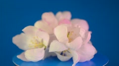 Spring apple-tree petals and flowers on a blue background Stock Footage