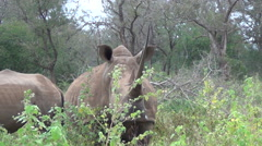 Two white rhino standing in African bush. Stock Footage