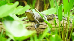 Alligator Baby in swamp Stock Footage