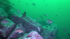 Fish and sea urchins among the rocks on seabed. - stock footage