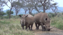 Two white rhino standing on dirt road. Stock Footage