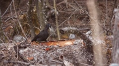 Black woodpecker feeding on a log - stock footage