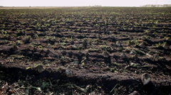 The harvest of sugar beet Stock Footage