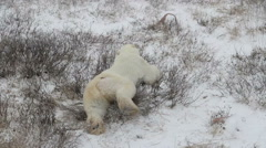 Polar bear lying and walking on the snow Arkistovideo