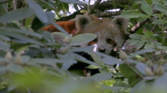 Close up scared Red Panda (Ailurus fulgens) hidden among the foliage of a tree. Stock Footage